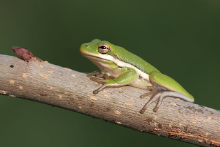 Green Tree Frog (explored)