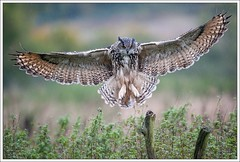Bubo bubo (Thor Hakonsen) Tags: england owl bubobubo ugle europeaneagleowl glucester hubro barnowlcentre netheridgefarm