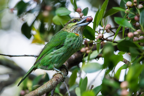 Megalaima faiostricta, green-eared barbet - Khao Yai National Park
