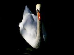 Valladolid - Campo Grande - Swan (Trotaparamos) Tags: birds swan valladolid finepix fujifilm campogrande silkypix fseries f900exr finepixf900exr trotaparamos