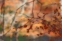 Last Leaves (haberlea) Tags: autumn trees orange brown nature dry orton virginiawater ortoneffect