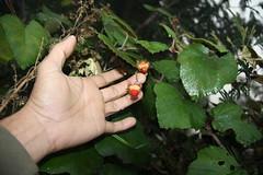 Rubus moluccanus var. chrysophyllus (Reinw. ex Miq.) Kuntze (Ahmad Fuad Morad) Tags: eastjava jawatimur indonesia mountpananjakan gunungpananjakan serunipoint bromotenggersemerunationalpark taxonomy:family=rosaceae geo:country=indonesia rubusmoluccanusvarchrysophyllus taxonomy:binomial=rubusmoluccanus