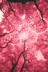 blood vessels, Argentina (jev) Tags: blue red plants white tree southamerica argentina ir blood buenosaires spectrum wide surreal vessel super infrared infra digitalinfrared dominantcolor dominantcolour avenon leicam8 leicaimages wwwartqcom