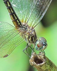 Blue dasher close-up (Vicki's Nature) Tags: hairy detail macro eye face female canon hair georgia wings dragonfly stripes ngc whiskers npc transparent sweep biello bluedasher gamewinner 0012 touchofred favescontestwinner vickisnature thechallengefactory faveswinner sx30 cfwinner storybookwinner gamesweepwinner readymother readyfavored gamediagonal readygamex2 faves1029 cfprettybugs storybookgood1025faves gameoneword gamenaturemacro1st