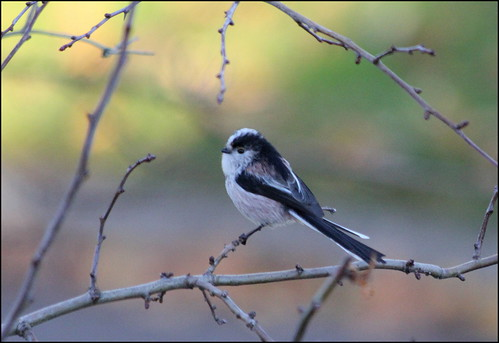 Long-tailed tit perching