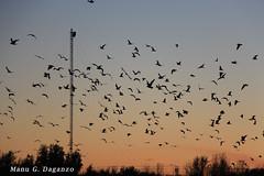 Ciento Volando (Manu González Daganzo) Tags: madrid atardecer aves pájaros gaviota rivas arganda elcampillo