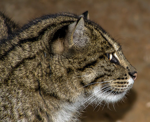 Fisher Cat in Profile