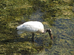 A Wood Stork Feeding in a Pond (hlh1977) Tags: bird nature pond florida wildlife swamp woodstork