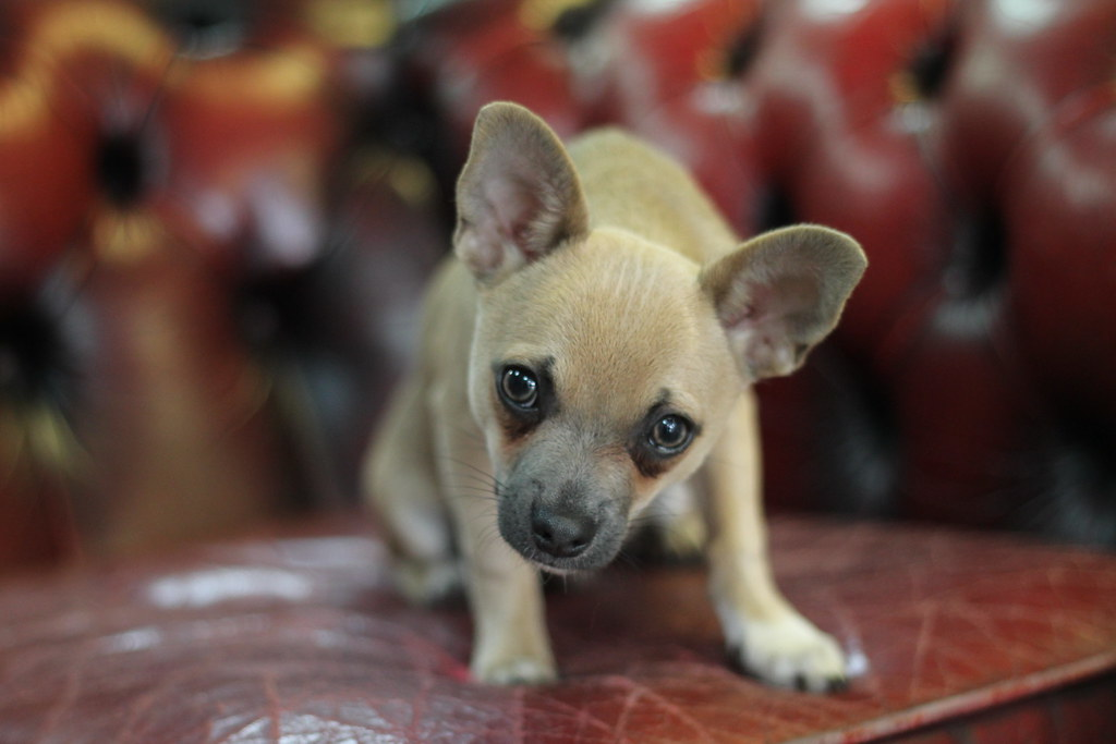 R Chihuahuas Smart The World's Best Photo...