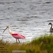 "Roseate Spoonbill<br /><span style=""font-size:0.8em;"">Photo taken in Florida on Merritt Island.</span> • <a style=""font-size:0.8em;"" href=""http://www.flickr.com/photos/18570447@N02/11587884056/"" target=""_blank"">View on Flickr</a>"