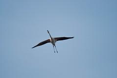DSC_7608.jpg (Ferraris Clemente) Tags: sardegna wild birds sardinia uccelli pinkflamingo olbia stagno fenicotterirosa