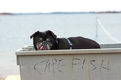Cape Fish (ArcticPug) Tags: canon capecod pug cape cod t3i capefish