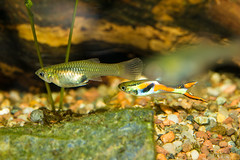 Fish-7174 (Line123a) Tags: male female display pair mf guppy livebearer endlers poeciliaendlers