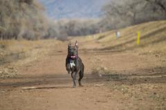 Asura (Alex_575) Tags: blue trees mountains newmexico yellow tongue puppy eyes nikon albuquerque ears running follow pitbull trail sing nm mylife 505 24mp bullyworld bullylife