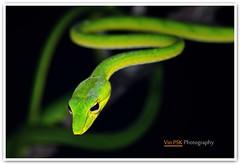 Oriental Whip Snake (Vin PSK) Tags: green nature closeup snake orientalwhipsnake