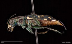 Cicindela haemorrhagica haemorrhagica - Male (Specimens from the Zoology Collections at the DMNS) Tags: blue insectos green nature museum bug insect focus colorado shiny pin metallic beetle insects science denver bugs stack montage copper beetles predator museums biology tigerbeetle specimen ze zoology entomology combined grinter specimens dmns pinned cicindela compiled focusstack carabidae helicon escarabajos denvermuseumofnaturescience cicindelidae zerene predacious groundbeetle cicindelinae zstack visionarydigital chrisgrinter