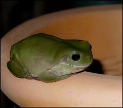 The Frog (Meremail) Tags: green brisbane frog pot