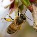 Honey Bee 272