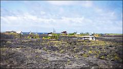 Rise from the Ashes (pro tempore) Tags: kalapana hawaii lava 169 puna klauealavaflow hawaiiroute130