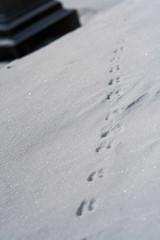 Burlington trip, January 2014.  Squirrel (?) tracks. (damonbla) Tags: winter green cemetery squirrel vermont tracks mount montpelier