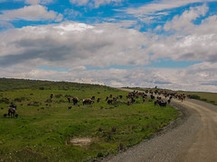 rch_34 (Franz-Rudolph) Tags: world chile patagonia del america de la crossing cattle y south end fin der runway herd mundo province piste ende magallanes welt regin chilena provinz sdamerika patagonien antrtica rinderherde berquert