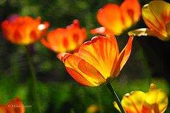Tilting tulips.jpg (mamanat - Alison Squiers Photography) Tags: flowers red yellow tulips elements yellowandredtulips awesomeblossoms f0153