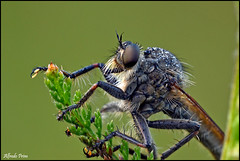 Monster ....... (alfvet) Tags: macro nikon ngc natura npc insetti valsesia sigma150 specinsect veterinarifotografi d5100