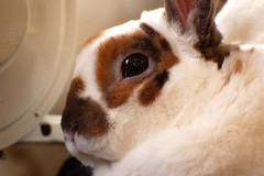 white cute rabbit bunny olaf soft massage rex houserabbit minirex
