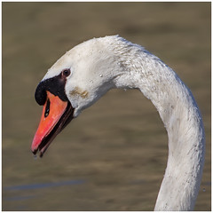 Mute swan after a dive (FocusPocus Photography) Tags: bird water animal germany deutschland droplets drops swan stuttgart schwan neckar tier vogel wassertropfen tropfen muteswan cygnus olor hckerschwan