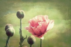 Pavots (mamietherese1) Tags: expression ngc textures soe magicalmoments ourtime expressyourself callingallangels flickrsbest artdigital idream contemporaryartsociety abigfave innamoramento 123f50 diamondclassphotographer flickrdiamond memoriesbook overtheexcellence floralessence fabulousphoto simplysuperb specialpictures qualitysurroundings platinumpeaceaward sailsevenseas creativeoutbursts coppercloudsilvernsun 200v200c2000v goldsealings fugitivemoment sublimeflowershot fleursetpaysages exoticimage persephonesgarden untouchabledream extremebouquet healinglightofthespirit universeofphotography vpu1 netartii trueexcellence1 sunrays5 magicalmoments2 artcityartists