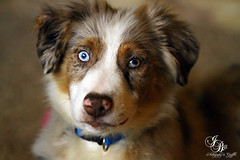 SLD_5449_1 (photokarazy) Tags: dog pet male animal puppy friend critter canine aussie australianshepherd redmerle samanthadeanphotography