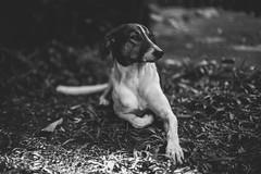 Dog (Lafaiete do Vale) Tags: portrait blackandwhite bw dog blackwhite pb cachorro pretoebranco pousada marabu rolandia