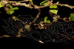 Pollen filled spider web (Patrick Ford Photography) Tags: macro finland nikon tamron tampere vc usd tamron90mm nikond5100 tamron90mmvcusdmacro