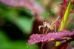 _MG_1728 (johncha1) Tags: macro long grasshopper nymph horned