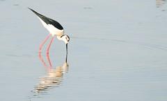 Black-winged Stilt (Fast an' Bulbous) Tags: england bird spring nikon northamptonshire gimp rare vagrant stilt wader himantopushimantopus blackwingedstilt nenevalley d300s summerleys sigma150500
