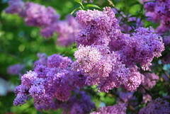 "Grandma's Lilacs • <a style=""font-size:0.8em;"" href=""http://www.flickr.com/photos/29084014@N02/14398894245/"" target=""_blank"">View on Flickr</a>"