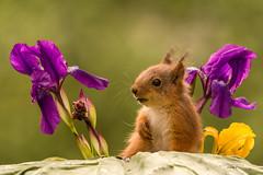 singing a song (Geert Weggen) Tags: iris flower macro nature animal yellow closeup mammal squirrel purple sweden young lila bud geert redsquirrel iridaceae eekhoorn sciurusvulgaris younganimal weggen ilobsterit hardeko ekhorre