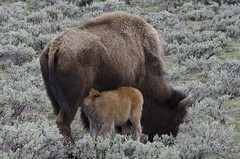 American bison (Bison bison) Mother and Calf DDZ_4442 (NDomer73) Tags: mammal may yellowstonenationalpark yellowstone bison juvenile better 2014 06may2014