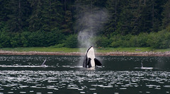 Transient Orca (redfishsuefish) Tags: alaska whale orca killerwhale