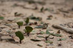 no pain, no gain (Rodrigo Alceu Dispor) Tags: macro insect pain no ant gain