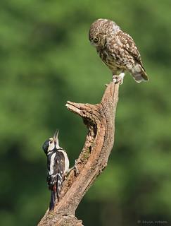 Little Owl & Woodpecker