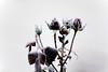 DSC01444 (Michael Rasmussen) Tags: winter flower flowers wabisabi michaelrasmussen minoltaamount amount sonya99 sonyalpha sony minolta300mmf4 denmark danmark holbaekdenmark holbækdanmark