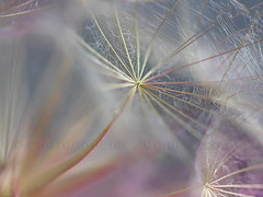 Un peu de douceur... (libellsoph) Tags: libellsoph pissenlits macro dandelion nature