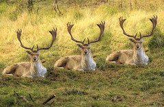 Stag party in autumn (dorrisd) Tags: deer fallowdeer damherten bok buck male animals amsterdamsewaterleidingduinen natuurgebied nature wildlife autumn dunes natural habitat vogelenzang panneland hert herten bokken bronstijd matingseason photoshop mienekeandewegvanrijn canonef70200mmf4lisusm holland southholland zuidholland nederland netherlands landscape woodland fall outdoors geweien gevlekt patterned fur coat hair dieren pose