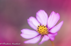 World pink portrait (frederic.gombert) Tags: cosmos flower flowers light pink red color colors sun sunlight plant macro nikon d800 autumn portrait garden 1001nights