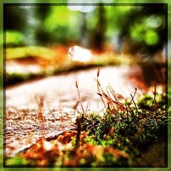 Mosses. #iPhone #iPhonemacro #macro #olloclip #olloclipmacro #collegepark #maryland  #commute #sidewalk #roadside (Kindle Girl) Tags: instagramapp square squareformat iphoneography uploaded:by=instagram ludwig iphone iphonemacro macro olloclip olloclipmacro moss green collegepark maryland iphone365 commute sidewalk roadside
