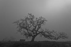 Morning in the park (JL Boyer) Tags: sonomacounty oak tree california bw fogg bench jlboyer cranecreekregionalpark blackandwhite rohnertpark cranecreek californiaoak