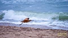Marbled Gotwit 022  A LR (bradleybennett) Tags: water river ocean stream creek beach shore shoreline line coast tide