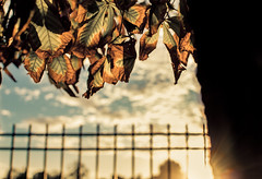 Dying transparent (redgoldish) Tags: dying transparent sunset madrid retiro autumn fall tree leaves