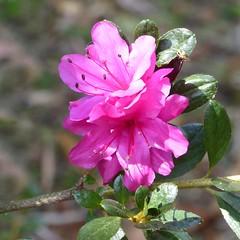 Botanical garden - Azalea (Linda DV) Tags: lindadevolder panasonic geotagged travel portugal porto europe 2016 citytrip oporto ribbet azalea ericaceae